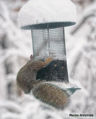 300-snowy-fat-squirrel_103020_0023