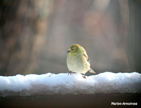 300-snowy-goldfinch-are-back_120720_006