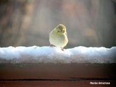 One little, two little three little Goldfinch