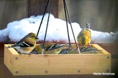 Goldfinches visit in flocks