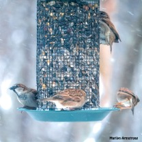 300-sparrows-snow-green-feeder_121720_0178