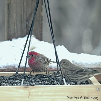 A pair of House Finches. The red head is the male.