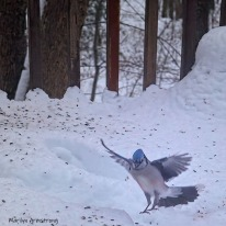 300-square-landing-blue-jay-in-snow_121820_0241