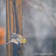 300-square-new-goldfinch_120920_0109