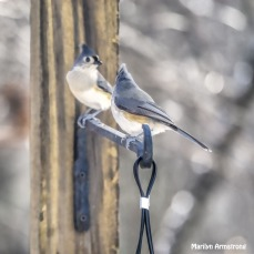 300-square-pair-oftufted-titmice_120920_0061
