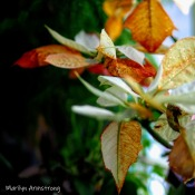 300-square-poinsettia-new-growth_122120_0002