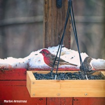 300-square-red-house-finches_120920_0020