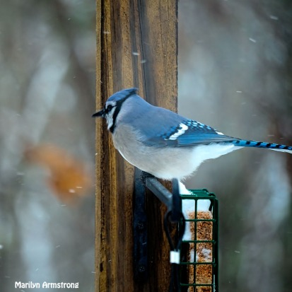 300-square-snow-blue-jay_121720_0155