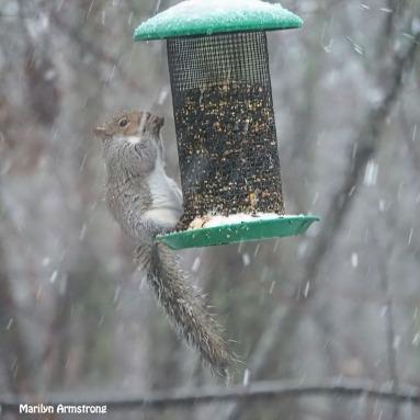 300-square-squirrel-in-snow_120520_0024