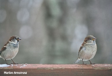 Two sparrows waiting for fresh food