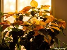 300-warm-golden-poinsettia_112220_0036