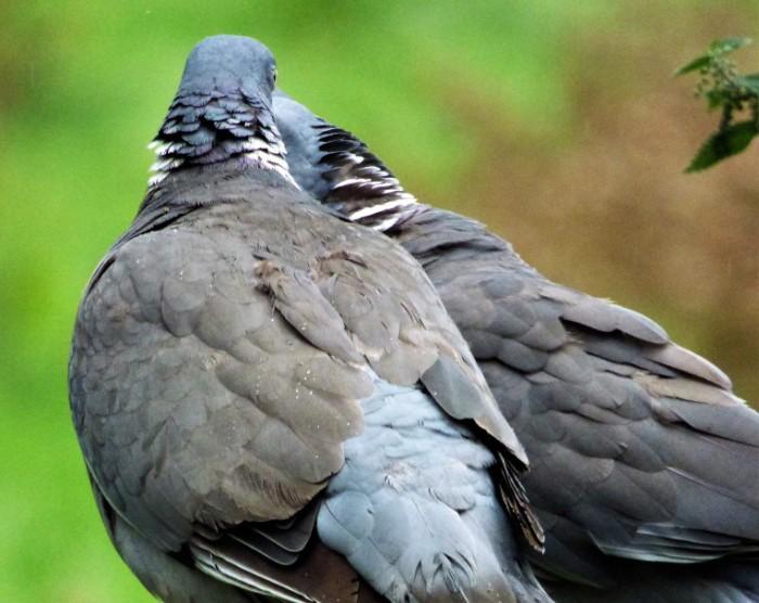 pigeons cuddled up