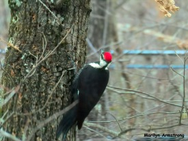 180-Day-2-Pileated-Woodpecker_011721_0301