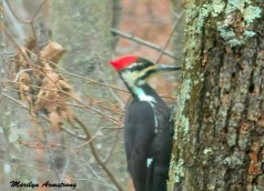 180-Day-2-Pileated-Woodpecker_011721_0321