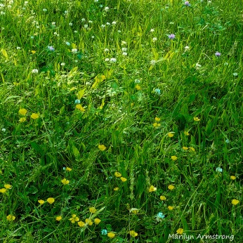 180-Square-Buttercups-MAR--06092019_116