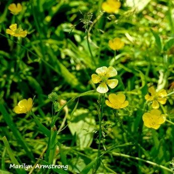 180-Square-Buttercups-RI-River-MAR--06092019_070