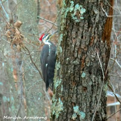 180-Square-Day-2-Pileated-Woodpecker_011721_0318