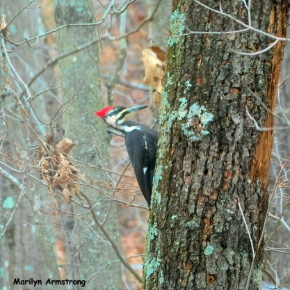 180-Square-Day-2-Pileated-Woodpecker_011721_0332
