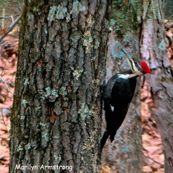 180-Square-Not-So-Close_Pileated-Woodpecker_011721_0086