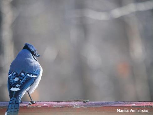 Blue Jay on the rail