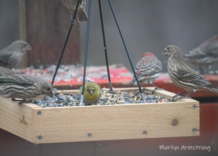 300-flock-of-finches_011121_0003