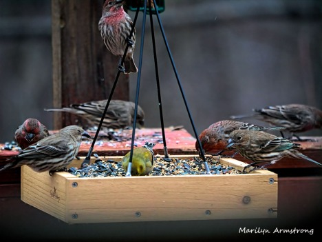 300-new-food-for-finches_011121_0004