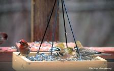 300-new-food-for-finches_011121_0040