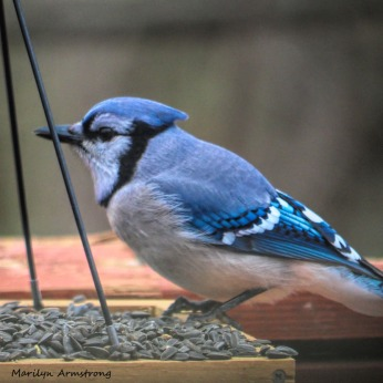 300-square-blue-jay_sunday_010321_0021.