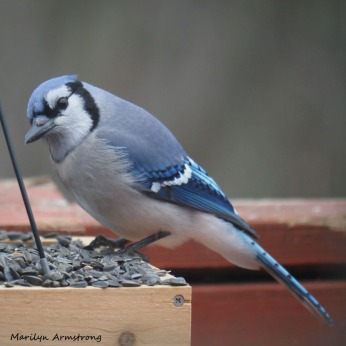 300-square-blue-jay_sunday_010321_0048.