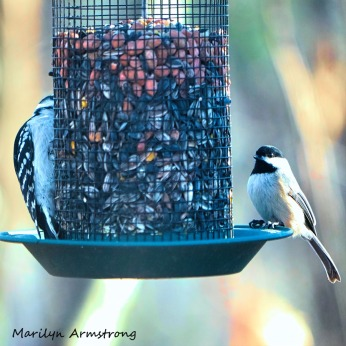 300-square-chickadee-downy-woodpecker_010821_0013