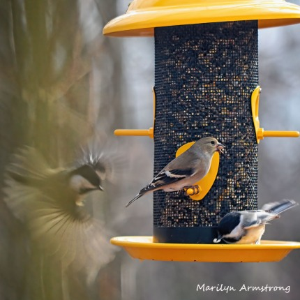Chickadees and Goldfinch