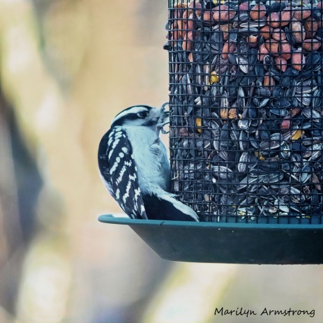 300-square-downy-woodpecker_010821_0004