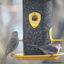 Mrs. House Finch