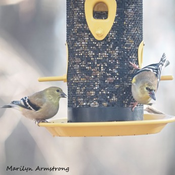 300-square-goldfinches-on-friday_010821_0112