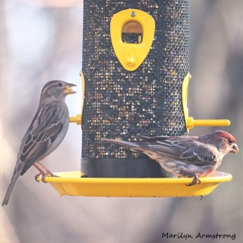 Brown one is a female House Finch. Only the males are red