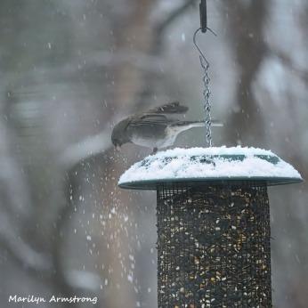 300-square-junco-snow-birds_012621_0187