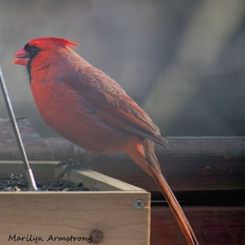 300-square-red-cardinal_010821_0035