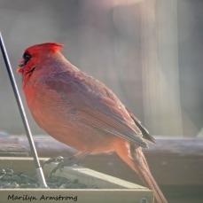 300-square-red-cardinal_010821_0043