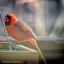 300-square-red-cardinal_010821_0047