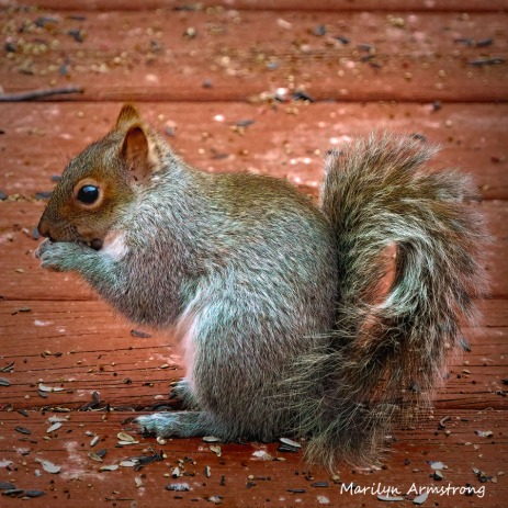 300-square-red-squirrel_011121_0118