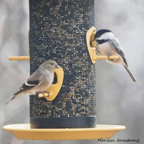 Goldfinch and Chickadee