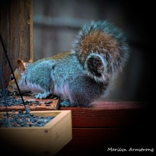 300-square-vignette-red-squirrel_011121_0140