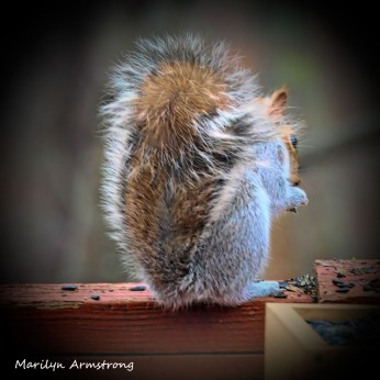 300-square-vignette-red-squirrel_011121_0150