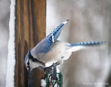 300-blue-jays-snow_020321_0013