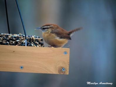 300-chipping-sparrow-valentines-birds_021521_0099