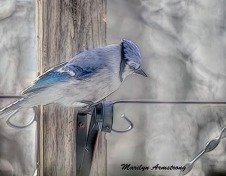 Blue Jay trying to decide on whether to hop into the flat feeder, with the squirrel