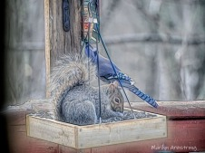 Squirrel with Blue Jay