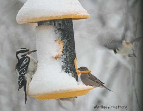 Hairy Woodpecker, Chickadee, Junco on a feeder