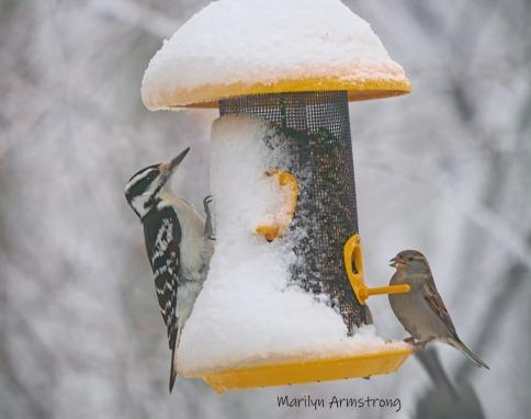 300-hairy-woodpecker-sparow-all-birds_020221_0062