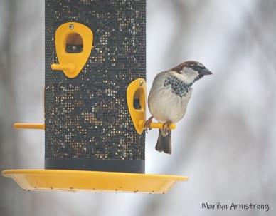 European House Sparrow